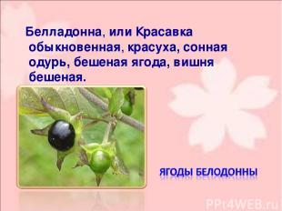 Белладо нна, или Краса вка обыкнове нная, красуха, сонная одурь, бешеная ягода,