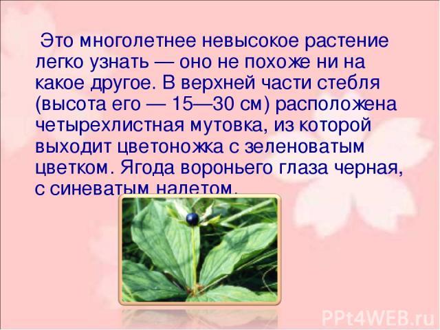 Это многолетнее невысокое растение легко узнать — оно не похоже ни на какое другое. В верхней части стебля (высота его — 15—30 см) расположена четырехлистная мутовка, из которой выходит цветоножка с зеленоватым цветком. Ягода вороньего глаза черная,…