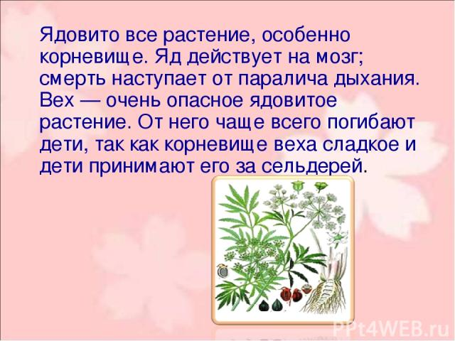 Ядовито все растение, особенно корневище. Яд действует на мозг; смерть наступает от паралича дыхания. Вех — очень опасное ядовитое растение. От него чаще всего погибают дети, так как корневище веха сладкое и дети принимают его за сельдерей.