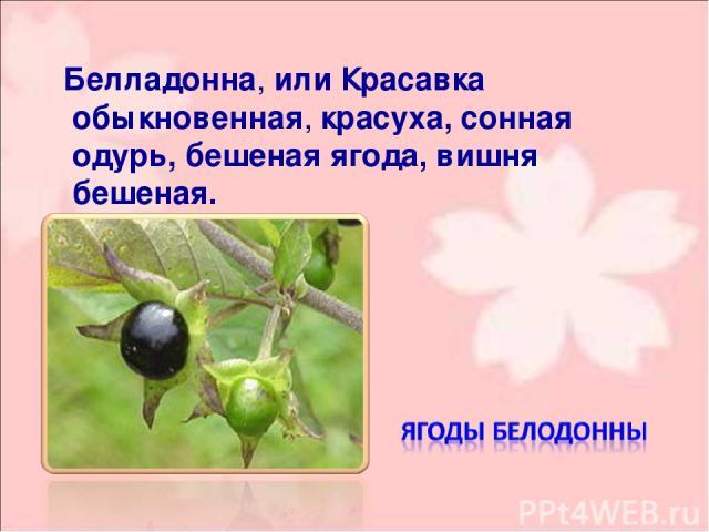 Белладо нна, или Краса вка обыкнове нная, красуха, сонная одурь, бешеная ягода, вишня бешеная.