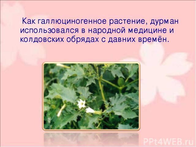 Как галлюциногенное растение, дурман использовался в народной медицине и колдовских обрядах с давних времён.