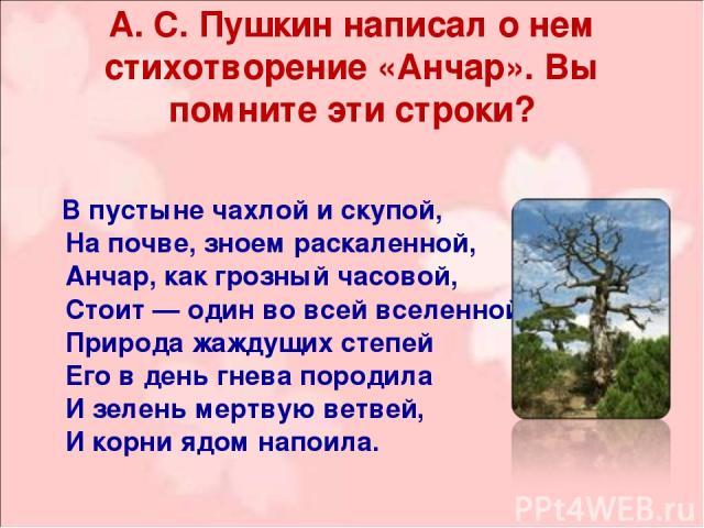 А. С. Пушкин написал о нем стихотворение «Анчар». Вы помните эти строки? В пустыне чахлой и скупой, На почве, зноем раскаленной, Анчар, как грозный часовой, Стоит — один во всей вселенной. Природа жаждущих степей Его в день гнева породила И зелень м…