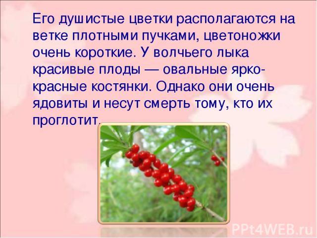 Его душистые цветки располагаются на ветке плотными пучками, цветоножки очень короткие. У волчьего лыка красивые плоды — овальные ярко-красные костянки. Однако они очень ядовиты и несут смерть тому, кто их проглотит.