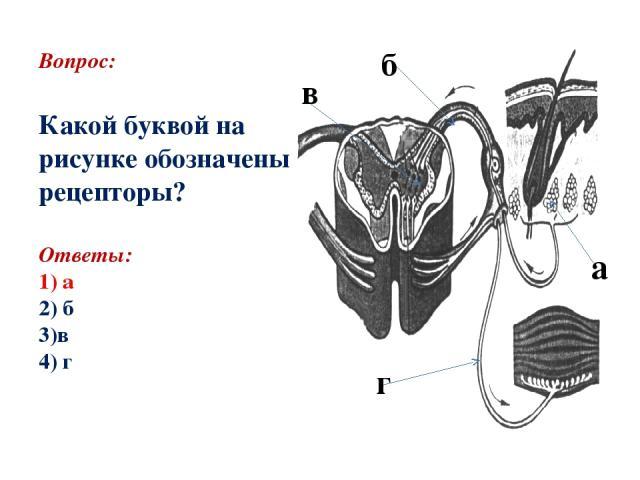 Вопрос: Какой буквой на рисунке обозначены рецепторы? Ответы: 1) а 2) б 3)в 4) г а б в г