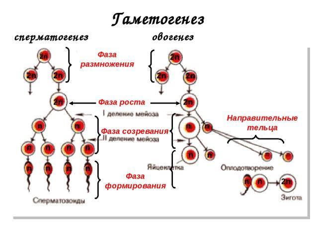 otlichiya-ovogeneza-ot-spermatogeneza
