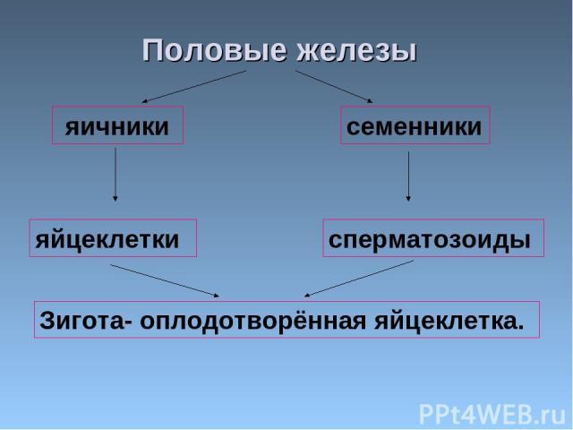 muzhskaya-polovaya-zheleza-virabativayushaya-spermatozoidi