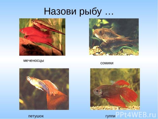 Назови рыбу … меченосцы сомики петушок гуппи