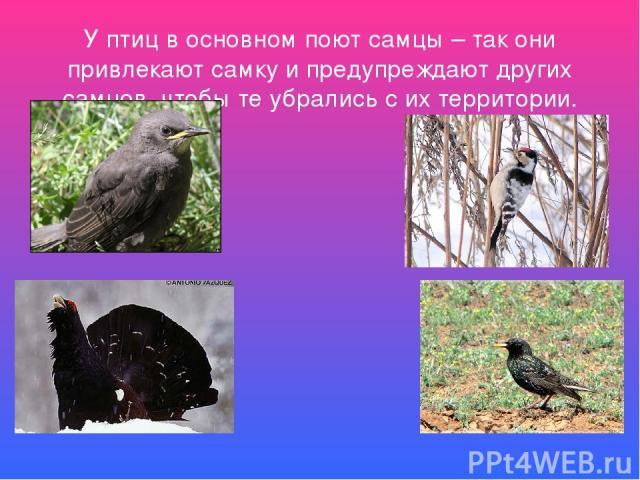 У какой птицы поют и самки, и самцы?