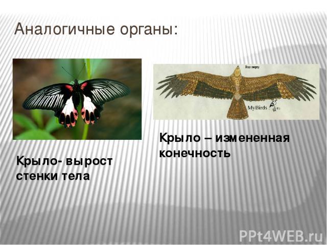 Примеры Дивергенция у Животных