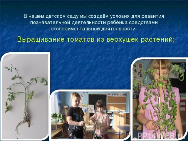 В нашем детском саду мы создаём условия для развития познавательной деятельности ребёнка средствами экспериментальной деятельности. Выращивание томатов из верхушек растений;