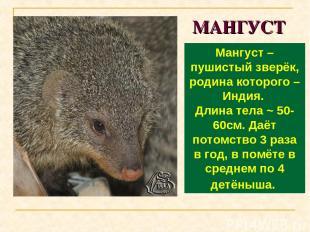 МАНГУСТ Мангуст – пушистый зверёк, родина которого – Индия. Длина тела ~ 50-60см