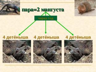 4 детёныша 4 детёныша 4 детёныша через год 1 пара=2 мангуста