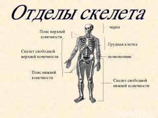 череп Пояс верхней конечности Скелет свободной нижней конечности Скелет свободно