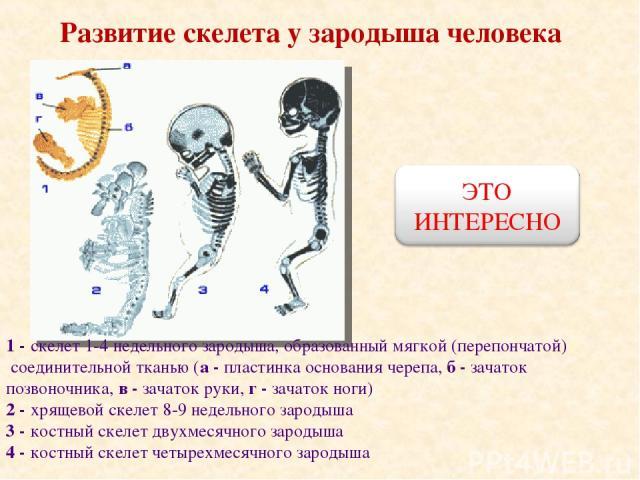 Развитие скелета у зародыша человека 1 - скелет 1-4 недельного зародыша, образованный мягкой (перепончатой) соединительной тканью (а - пластинка основания черепа, б - зачаток позвоночника, в - зачаток руки, г - зачаток ноги) 2 - хрящевой скелет 8-9 …