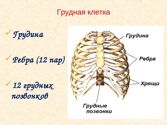 Грудная клетка Грудина Ребра (12 пар) 12 грудных позвонков