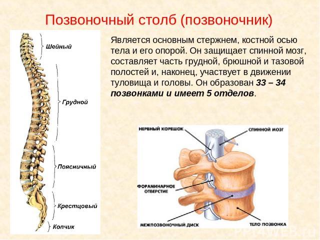 Позвоночный столб (позвоночник) Является основным стержнем, костной осью тела и его опорой. Он защищает спинной мозг, составляет часть грудной, брюшной и тазовой полостей и, наконец, участвует в движении туловища и головы. Он образован 33 – 34 позво…