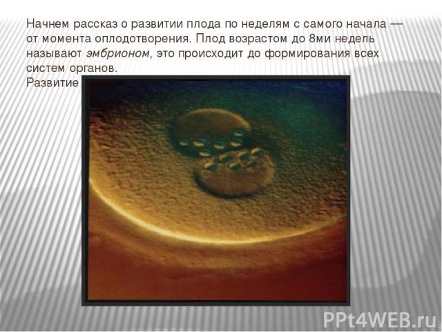 Начнем рассказ оразвитии плода понеделям ссамого начала— отмомента оплодотворения. Плод возрастом до8ми недель называютэмбрионом, это происходит доформирования всех систем органов. Развитие эмбриона:1-янеделя