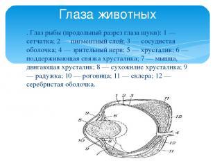 . Глаз рыбы (продольный разрез глаза щуки): 1 — сетчатка; 2 — пигментный слой; 3