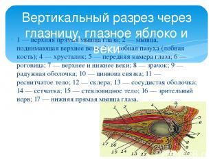 1 — верхняя прямая мышца глаза; 2 — мышца, поднимающая верхнее веко; 3 — лобная