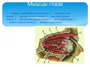 1 — мышца, поднимающая верхнее веко; 2 — верхняя косая мышца; 3 — верхняя прямая