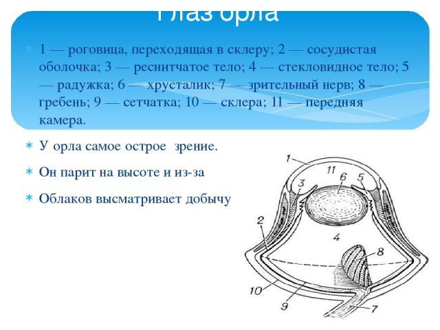 1 — роговица, переходящая в склеру; 2 — сосудистая оболочка; 3 — реснитчатое тело; 4 — стекловидное тело; 5 — радужка; 6 — хрусталик; 7 — зрительный нерв; 8 — гребень; 9 — сетчатка; 10 — склера; 11 — передняя камера. У орла самое острое зрение. Он п…