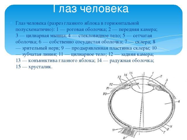 Глаз человека (разрез глазного яблока в горизонтальной полусхематично): 1 — роговая оболочка; 2 — передняя камера; 3 — цилиарная мышца; 4 — стекловидное тело; 5 — сетчатая оболочка; 6 — собственно сосудистая оболочка; 7 — склера; 8 — зрительный нерв…