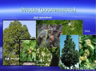 Флора (рослинність) Бук лісовий Дуб звичайний Липа