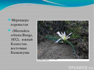 Мерендера коренастая (Merendera robusta Bunge, 1852), южный Казахстан, восточны