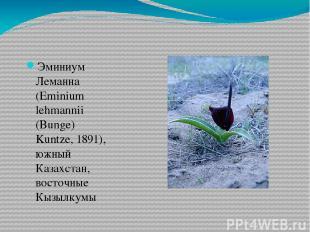 Эминиум Леманна (Eminium lehmannii (Bunge) Kuntze, 1891), южный Казахстан, восто