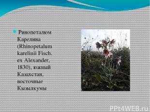 Ринопеталюм Карелина (Rhinopetalum karelinii Fisch. ex Alexander, 1830), южный К
