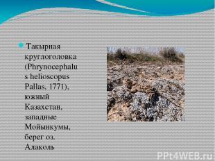 Такырная круглоголовка (Phrynocephalus helioscopus Pallas, 1771), южный Казахста