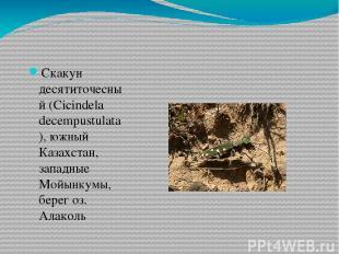 Скакун десятиточесный (Cicindela decempustulatа), южный Казахстан, западные Мойы