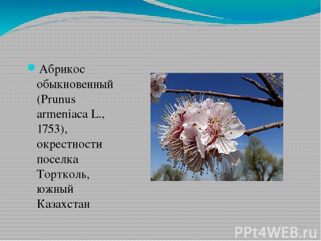 Абрикос обыкновенный (Prunus armeniaca L., 1753), окрестности поселка Тортколь, южный Казахстан