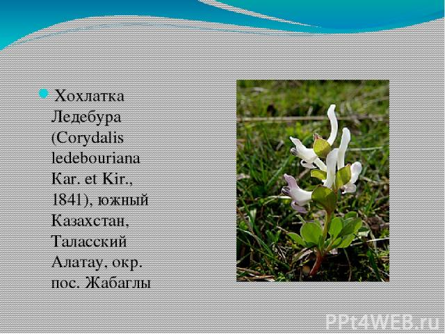 Хохлатка Ледебура (Сorydalis ledebouriana Кar. et Kir., 1841), южный Казахстан, Таласский Алатау, окр. пос. Жабаглы