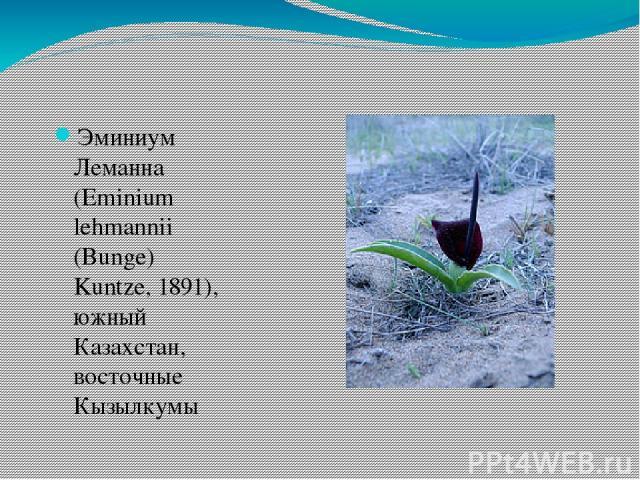 Эминиум Леманна (Eminium lehmannii (Bunge) Kuntze, 1891), южный Казахстан, восточные Кызылкумы