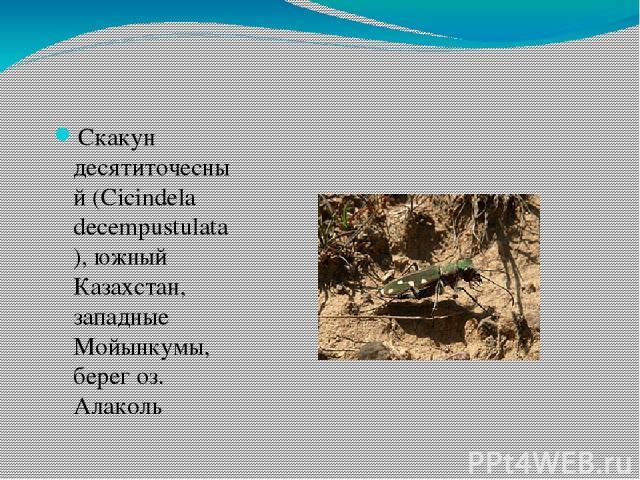 Скакун десятиточесный (Cicindela decempustulatа), южный Казахстан, западные Мойынкумы, берег оз. Алаколь