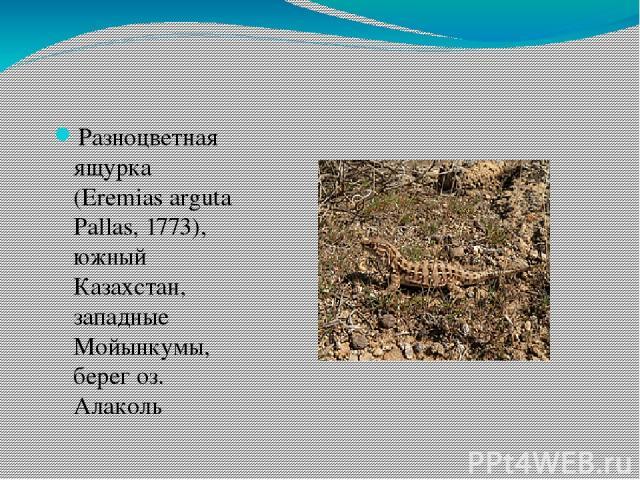 Разноцветная ящурка (Eremias arguta Pallas, 1773), южный Казахстан, западные Мойынкумы, берег оз. Алаколь