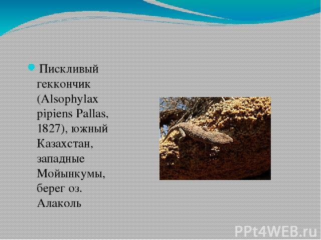 Пискливый геккончик (Alsophylax pipiens Pallas, 1827), южный Казахстан, западные Мойынкумы, берег оз. Алаколь