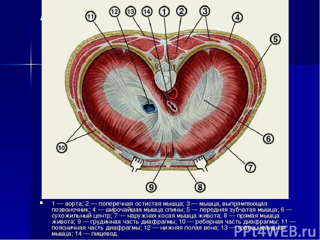 Анатомия диафрагмы 1 — аорта; 2 — поперечная остистая мышца; 3 — мышца, выпрямляющая позвоночник; 4 — широчайшая мышца спины; 5 — передняя зубчатая мышца; 6 — сухожильный центр; 7 — наружная косая мышца живота; 8 — прямая мышца живота; 9 — грудинная…
