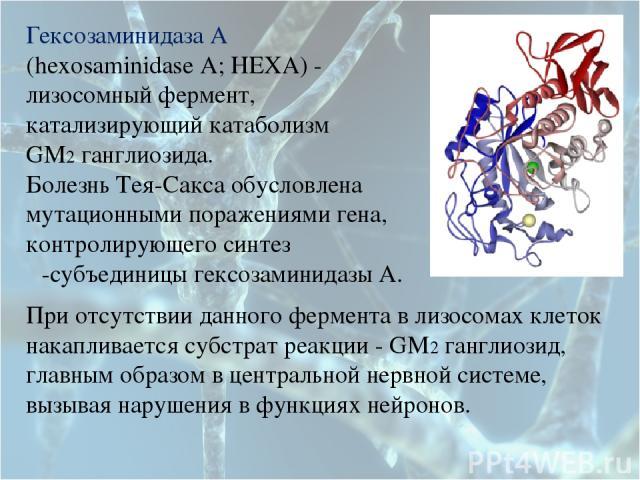 Гексозаминидаза А (hexosaminidase A; HEXA) - лизосомный фермент, катализирующий катаболизм GM2 ганглиозида. Болезнь Тея-Сакса обусловлена мутационными поражениями гена, контролирующего синтез α-субъединицы гексозаминидазы А. При отсутствии данного ф…