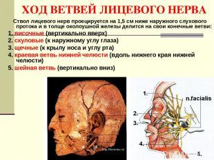 ХОД ВЕТВЕЙ ЛИЦЕВОГО НЕРВА Ствол лицевого нерв проецируется на 1,5 см ниже наружн