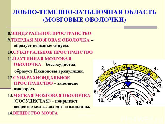 ЛОБНО-ТЕМЕННО-ЗАТЫЛОЧНАЯ ОБЛАСТЬ (МОЗГОВЫЕ ОБОЛОЧКИ) 8.ЭПИДУРАЛЬНОЕ ПРОСТРАНСТВО 9.ТВЕРДАЯ МОЗГОВАЯ ОБОЛОЧКА – образует венозные синусы. 10.СУБДУРАЛЬНОЕ ПРОСТРАНСТВО 11.ПАУТИННАЯ МОЗГОВАЯ ОБОЛОЧКА – бессосудистая, образует Пахионовы грануляции. 12.С…