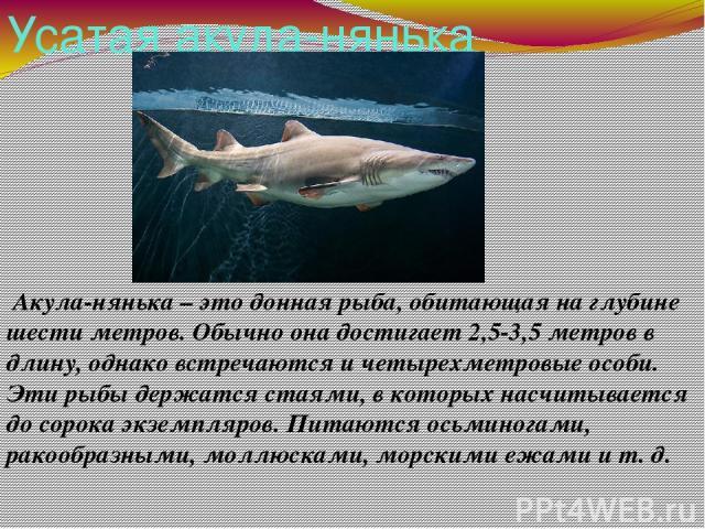 Усатая акула-нянька Акула-нянька – это донная рыба, обитающая на глубине шести метров. Обычно она достигает 2,5-3,5 метров в длину, однако встречаются и четырехметровые особи. Эти рыбы держатся стаями, в которых насчитывается до сорока экземпляров. …