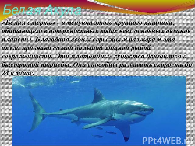 Белая Акула «Белая смерть» - именуют этого крупного хищника, обитающего в поверхностных водах всех основных океанов планеты. Благодаря своим серьезным размерам эта акула признана самой большой хищной рыбой современности. Эти плотоядные существа двиг…
