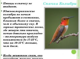 Спячка Колибри Птицы в спячку не впадают. Южноамериканские колибри по ночам преб