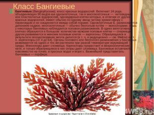 Класс Бангиевые Бангиевые (Bangiophyceae), класс красных водорослей. Включает 24