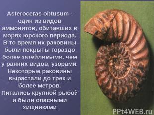 Asteroceras obtusum - один из видов аммонитов, обитавших в морях юрского периода