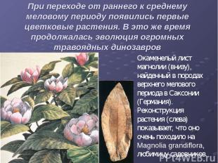 При переходе от раннего к среднему меловому периоду появились первые цветковые р