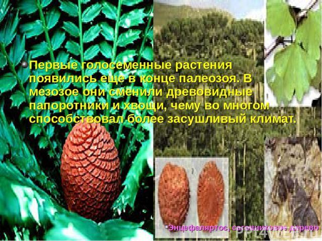 Первые голосеменные растения появились еще в конце палеозоя. В мезозое они сменили древовидные папоротники и хвощи, чему во многом способствовал более засушливый климат.  Энцефаляртос, саговниковое дерево