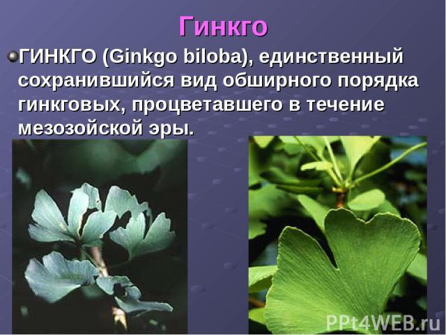 Гинкго ГИНКГО (Ginkgo biloba), единственный сохранившийся вид обширного порядка гинкговых, процветавшего в течение мезозойской эры.